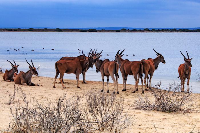 eland, de hoop nature reserve