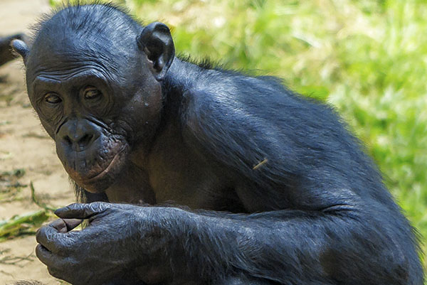 bonobo, kinshasa, congo