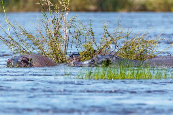 nijlpaarden zambezi victoria falls